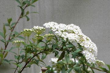 こでまりの花④