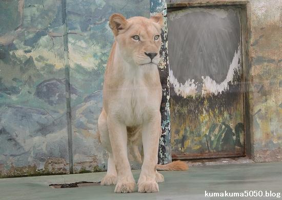 ホワイトライオン_98