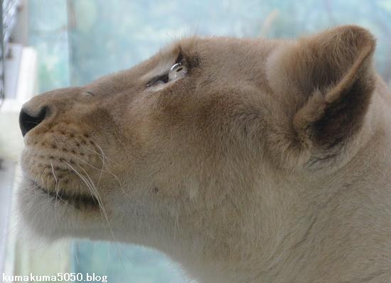 ホワイトライオン_100