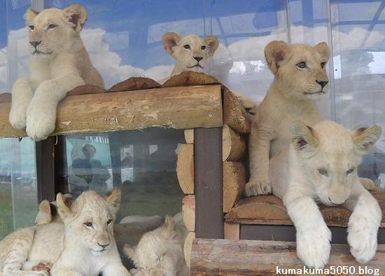 ホワイトライオンの赤ちゃん_44