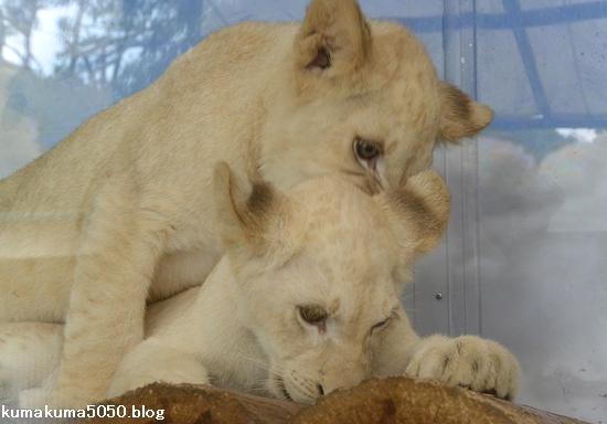 ホワイトライオンの赤ちゃん_45