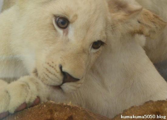 ホワイトライオンの赤ちゃん_47