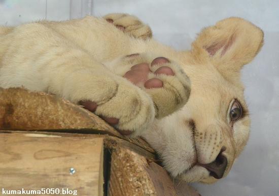 ホワイトライオンの赤ちゃん_51