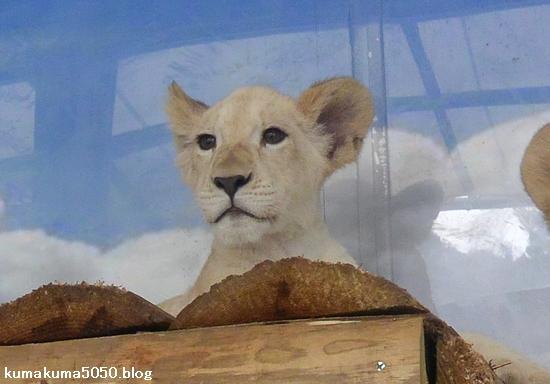 ホワイトライオンの赤ちゃん_53
