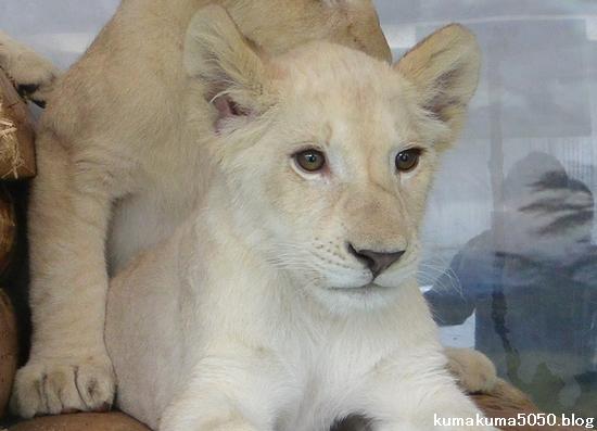 ホワイトライオンの赤ちゃん_55