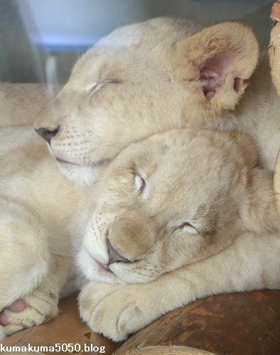 ホワイトライオンの赤ちゃん_60