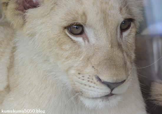 ホワイトライオンの赤ちゃん_62