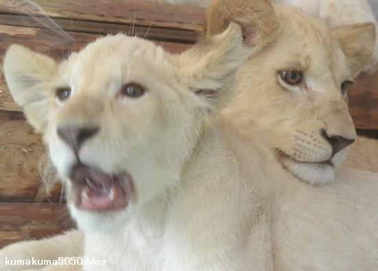 ホワイトライオンの赤ちゃん_65