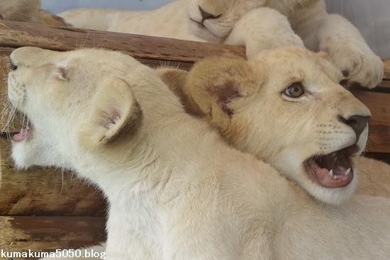 ホワイトライオンの赤ちゃん_66