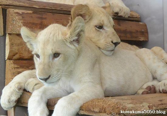 ホワイトライオンの赤ちゃん_69
