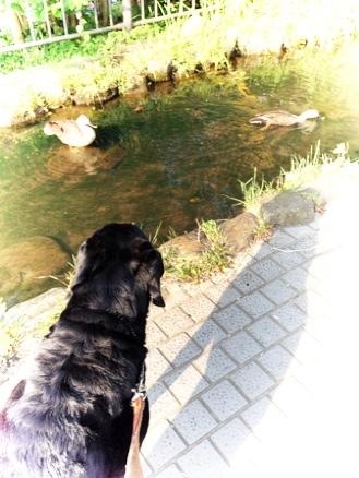鴨とレトリバー。