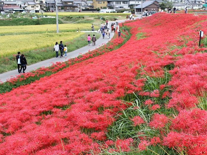 矢勝川の堤防を埋め尽くす彼岸花 愛知県半田市にて