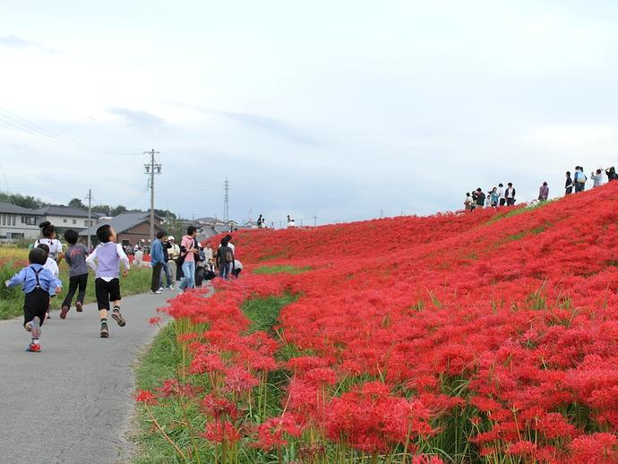 半田市矢勝川堤防の彼岸花 駆ける子供たちとともに