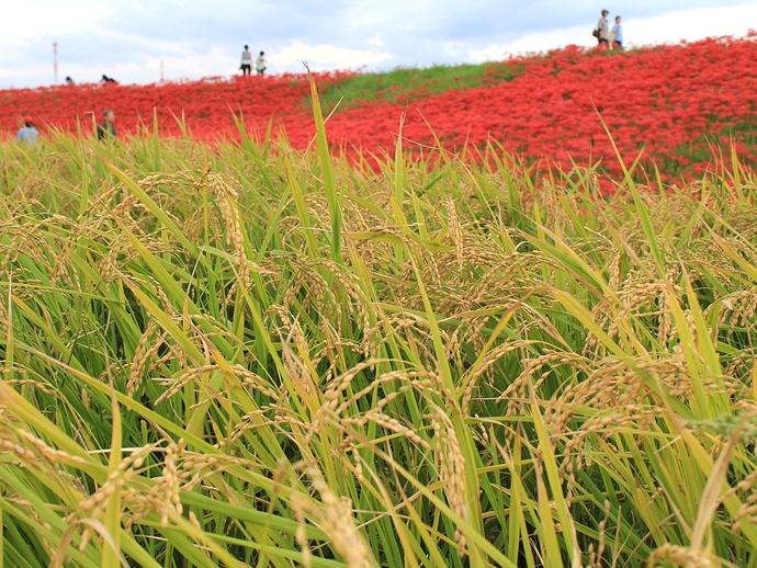 矢勝川の彼岸花 こがね色の稲穂とともに