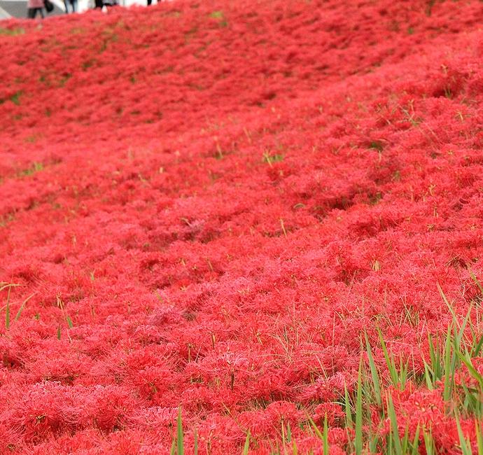 彼岸花で赤く染まる堤防 愛知県半田市矢勝川にて
