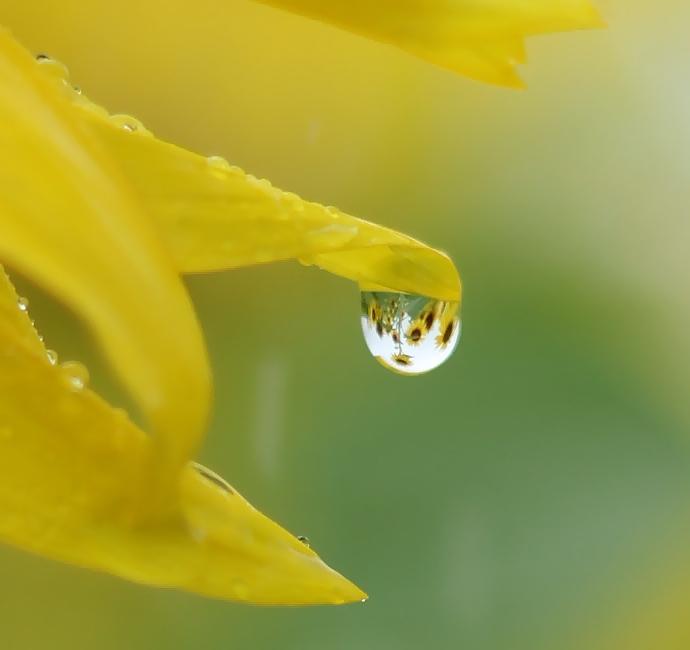 ひまわりを映す雨の雫(南砺市福野のひまわり畑にて)