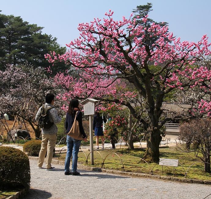 兼六園の梅林(春)