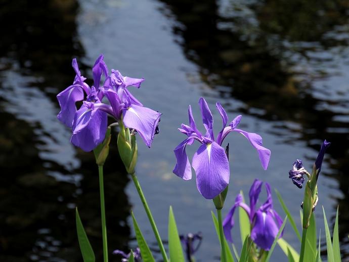 水辺に咲くカキツバタ(金沢市兼六園にて)