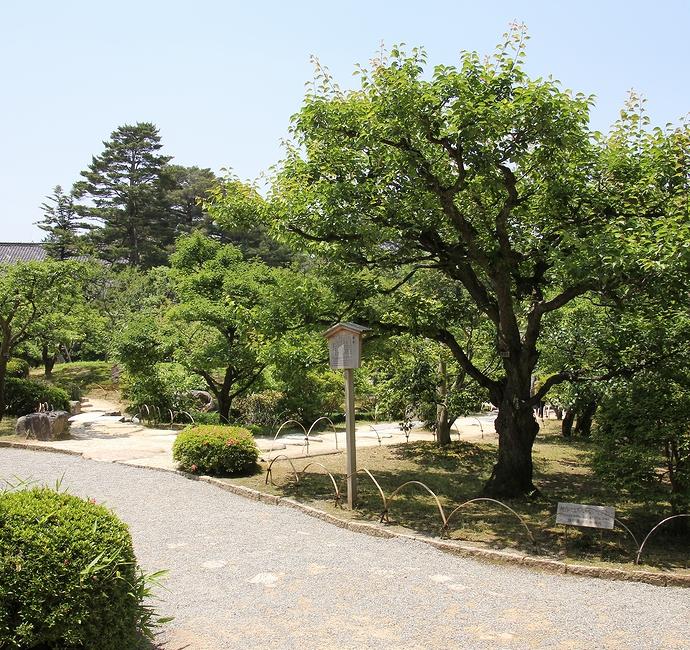 兼六園の梅林 初夏の緑