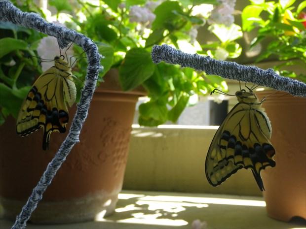 キアゲハ羽化 2014年の夏