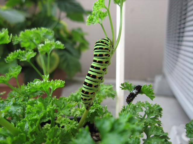 キアゲハの幼虫・・・従兄弟