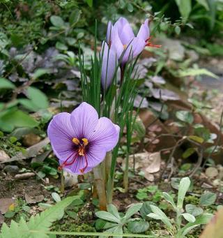 562px-Crocus_sativus1_convert_20140427200116_20140427233829baf.jpg
