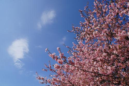 20200224桜3