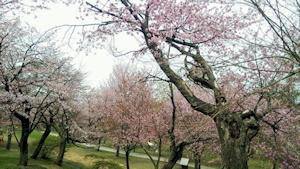 緑ヶ丘公園の桜