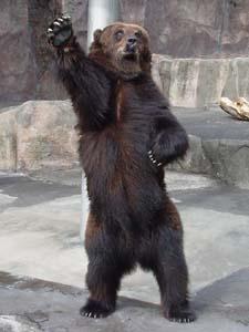 動物園のヒグマ