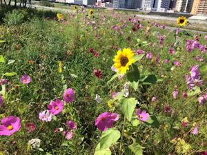 ひまわりとコスモスが一緒に咲く豊平川河岸