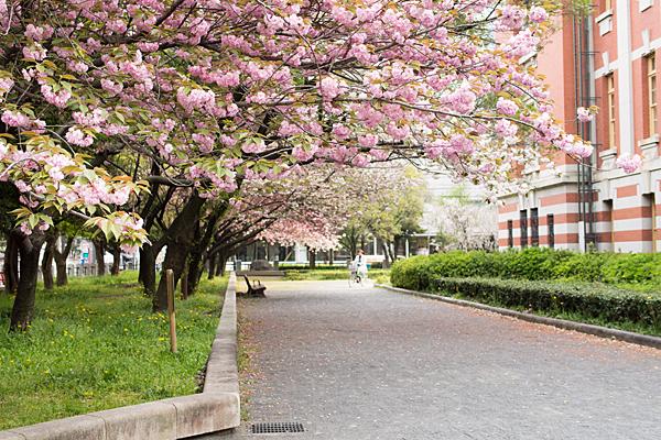 桜風景6-13