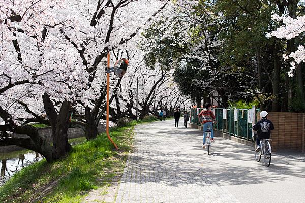 桜風景6-2
