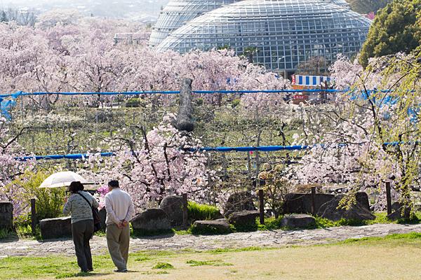 桜風景6-3