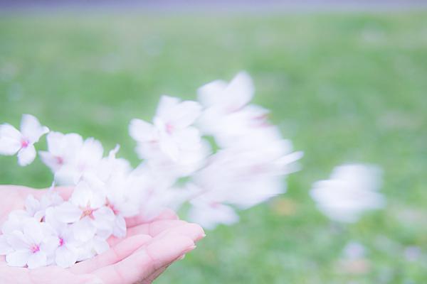 桜あれこれ2-11