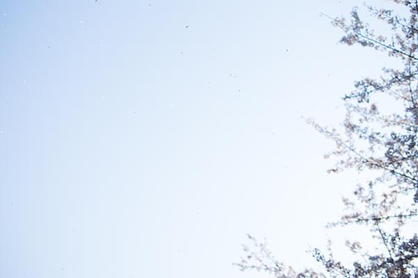 桜あれこれ2-2