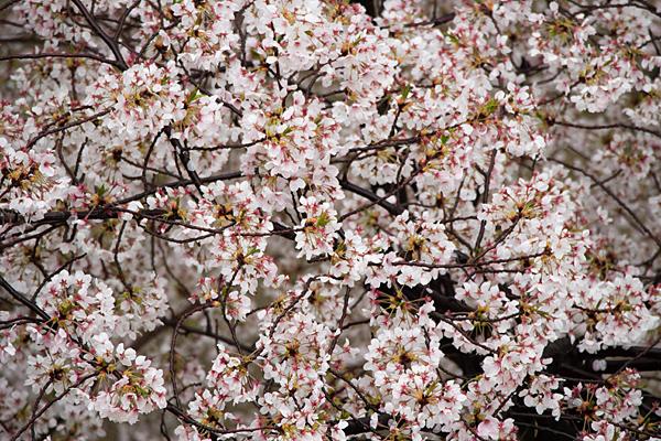 桜風景7-4