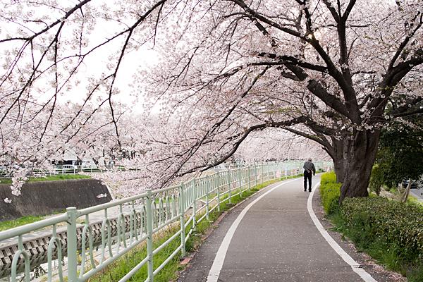 桜風景3-6