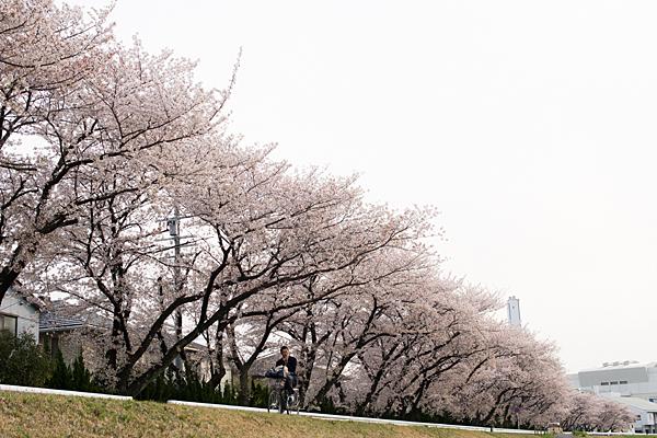 桜風景3-7