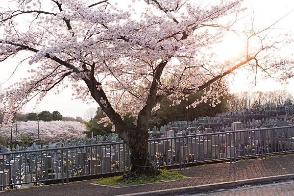 桜風景4-11