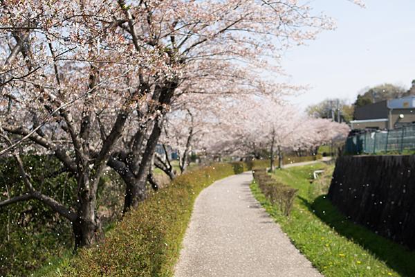 桜風景4-7