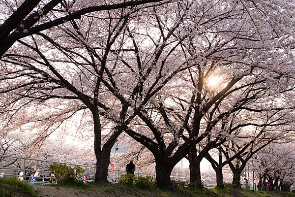 桜風景2-10