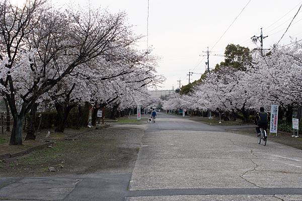 桜風景2-12