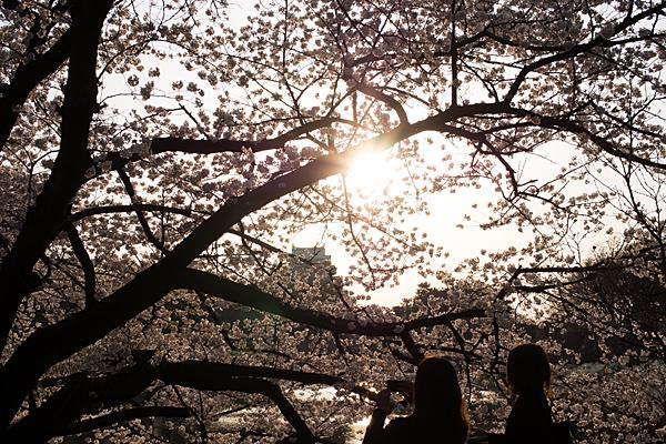 桜風景2-13