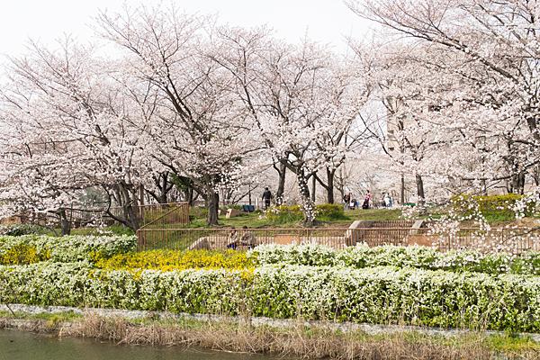 桜風景2-3