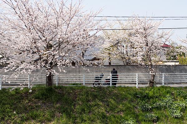 桜風景2-6