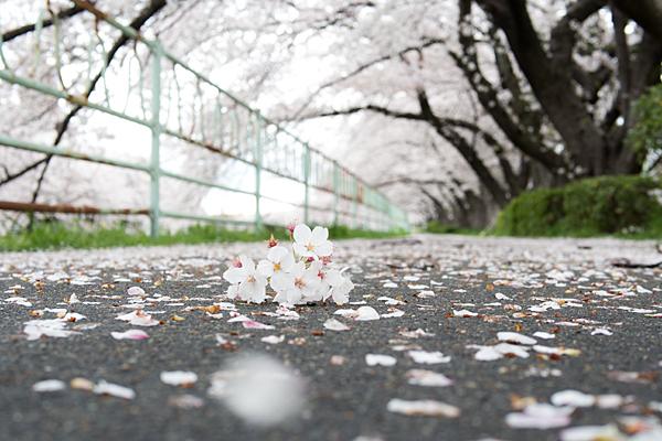 香流川桜-1