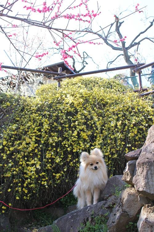 クウちゃんとお花見散歩 その2 (不老園にて)
