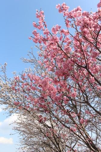 桜の木の下で5