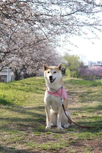 桜の木の下で6