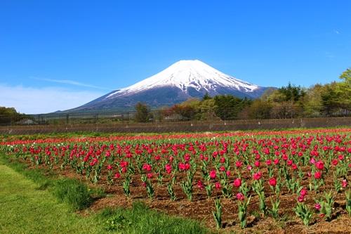 山中湖・富士山とチューリップとさくら